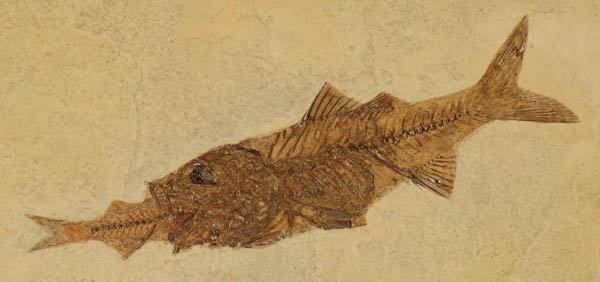 http://www.answersingenesis.org/assets/images/articles/am/v2/n2/fossil-fish.jpg