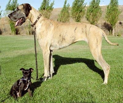 http://upload-2.dogzer.us/image_global/4-dog/_light-68985-great-dane-and-chiwawa.jpg