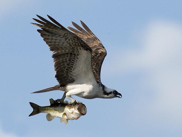 http://savetheeaglesinternational.org/wp-content/uploads/2012/02/osprey-with-bass.jpg