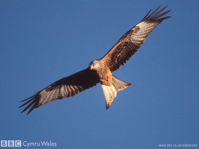 http://shakespeareinaction.files.wordpress.com/2011/03/red-kite1.jpg