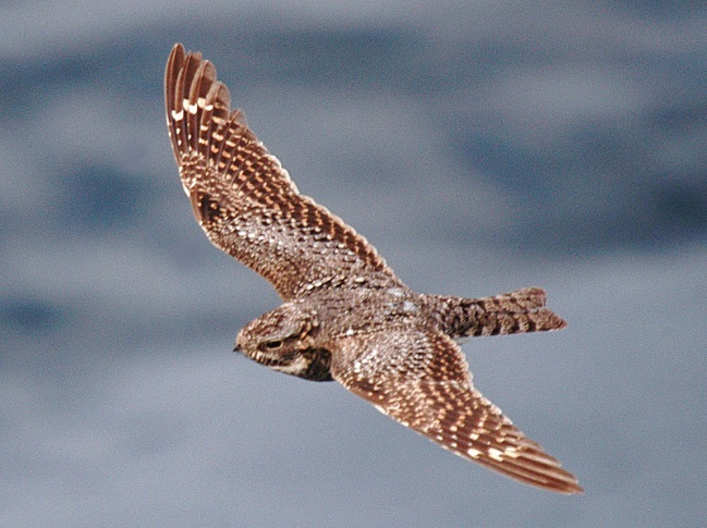 http://www.vancouverislandbirds.com/ajune2006b-056nighthawk.jpg