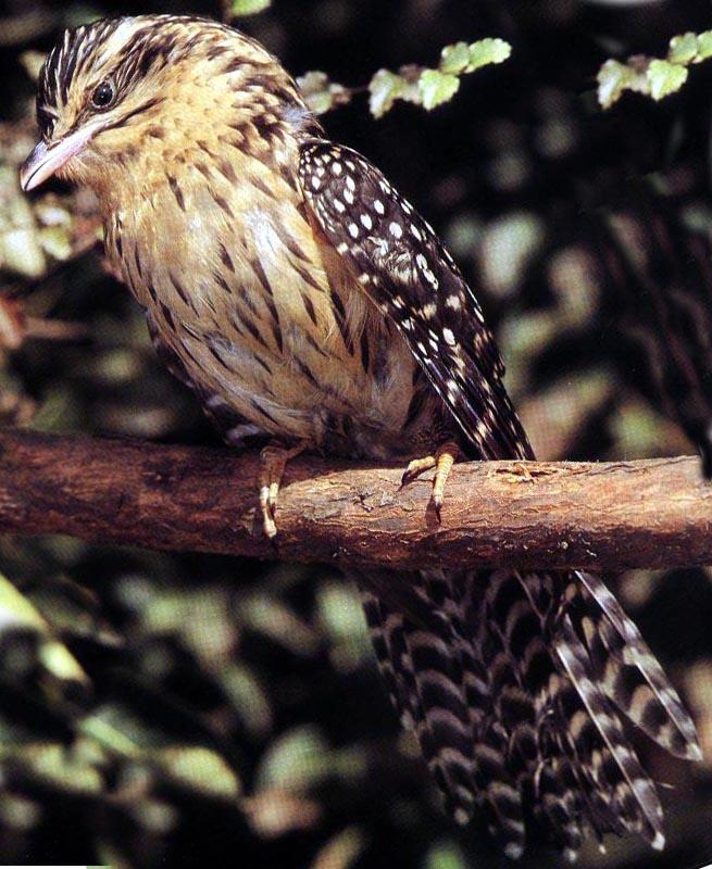 http://ebird.org/plone/newzealand/news/cuckoos-are-coming/long_tail_cuckoo.jpg