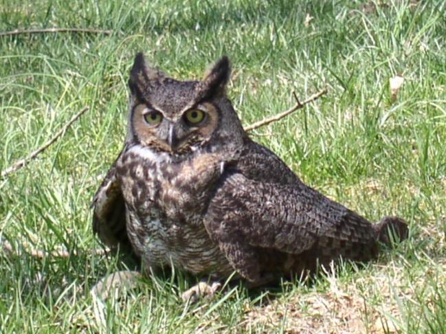 http://biology.clc.uc.edu/fankhauser/Animals/Birds/Great_Horned_Owl/Great_Horned_Owl_best_P4050015.JPG