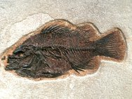 http://www.fossilmuseum.net/Fossil_Galleries/Green_River_Formation_Fish/Priscacara_liops/WFF061Bt.jpg