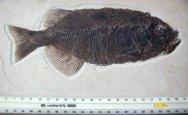 Phareodous fossil fish