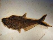 http://www.fossilmuseum.net/Fossil_Galleries/Green_River_Formation_Fish/Diplomystus/WF21bt.jpg