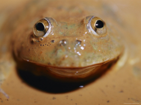 http://imgc.artprintimages.com/images/art-print/jason-edwards-a-water-holding-frog-pokes-its-head-up-through-the-mud_i-G-28-2875-8AFPD00Z.jpg