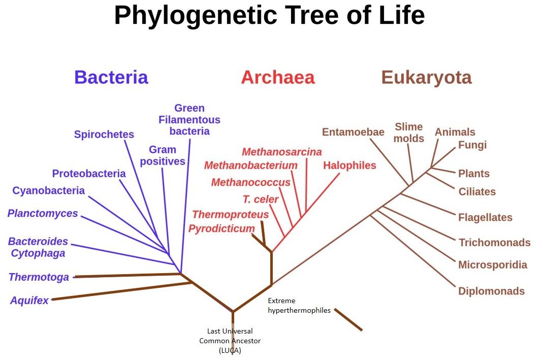 http://upload.wikimedia.org/wikipedia/commons/d/de/Phylogenic_Tree.jpg