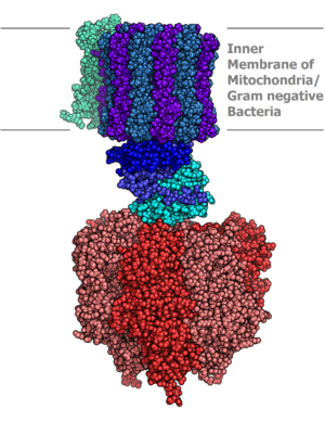 http://upload.wikimedia.org/wikipedia/commons/thumb/0/00/Atp_synthase.PNG/300px-Atp_synthase.PNG