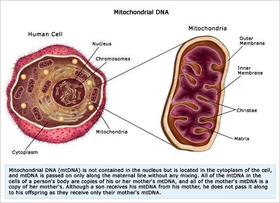 http://www.personal.psu.edu/tcr5031/blogs/portfolio/mitochondrial%20DNA.jpg