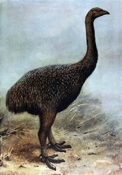 http://upload.wikimedia.org/wikipedia/en/thumb/d/d7/Megalapteryx.png/250px-Megalapteryx.png