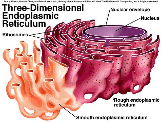 http://images.tutorvista.com/content/feed/tvcs/endoplasmic_reticulum5B15D.jpg