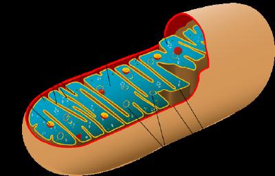 http://0.tqn.com/d/biology/1/0/W/X/mitochondrion.png