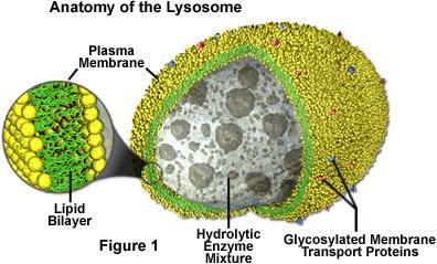 http://micro.magnet.fsu.edu/cells/lysosomes/images/lysosomesfigure1.jpg