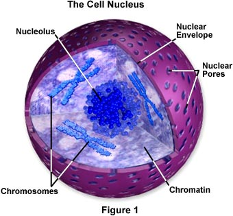 http://www.cartage.org.lb/en/themes/sciences/zoology/animalphysiology/anatomy/animalcellstructure/nucleus/cellnucleus.jpg