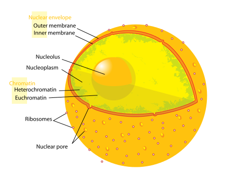 http://upload.wikimedia.org/wikipedia/commons/thumb/3/38/Diagram_human_cell_nucleus.svg/462px-Diagram_human_cell_nucleus.svg.png