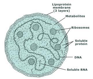 http://images.tutorvista.com/content/kingdoms-living-world/mycoplasma-cell-structure.jpeg