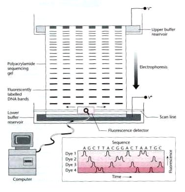 http://universe-review.ca/I11-50-gelectrophoresis2.jpg