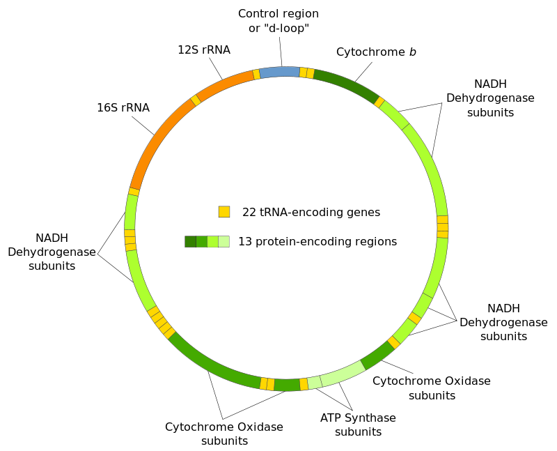 http://upload.wikimedia.org/wikipedia/commons/thumb/3/3e/Mitochondrial_DNA_en.svg/800px-Mitochondrial_DNA_en.svg.png