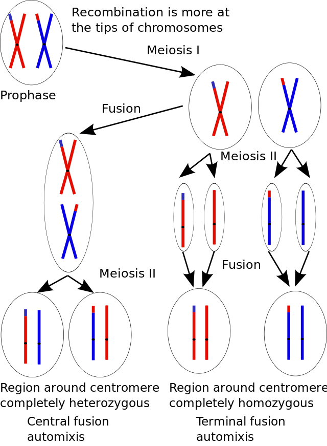 http://upload.wikimedia.org/wikipedia/commons/thumb/e/ed/Central_fusion_and_terminal_fusion_automixis.svg/640px-Central_fusion_and_terminal_fusion_automixis.svg.png