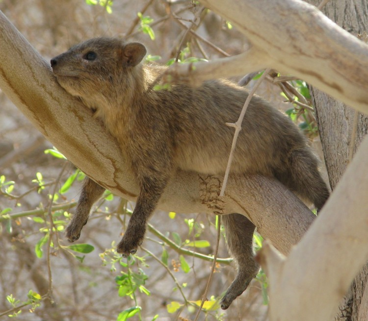 http://www.theepochtimes.com/n2/images/stories/large/2012/07/02/hyrax_crop.jpg