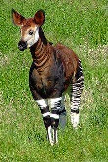 http://upload.wikimedia.org/wikipedia/commons/thumb/b/b6/Okapia_johnstoni_-Marwell_Wildlife%2C_Hampshire%2C_England-8a.jpg/220px-Okapia_johnstoni_-Marwell_Wildlife%2C_Hampshire%2C_England-8a.jpg