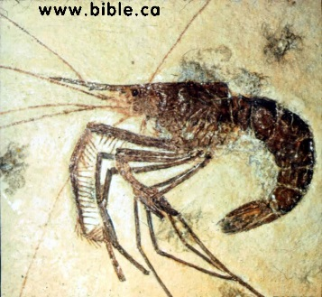 http://kgov.com/files/images/science/shrimp-fossil.jpg