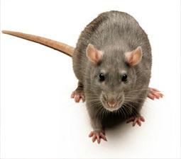 http://www.conserveireland.com/mammals/images/brown_rat/1.jpg