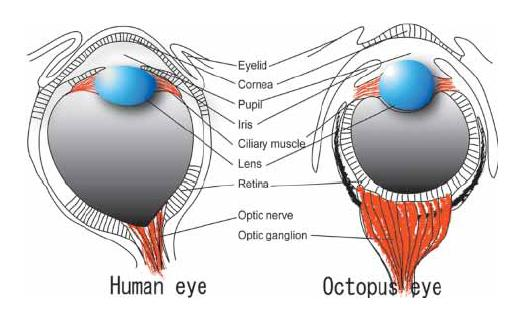 http://1.bp.blogspot.com/_6FXhb-SM0NA/TAP1LXpy7kI/AAAAAAAAABk/uwpwUGWUZvc/s1600/Ogura+et+al+2004+-+Octopus+and+Human+eyes.JPG