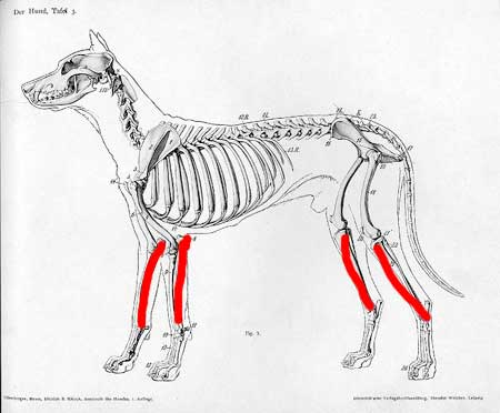 http://www.non-solo-arte.com/image-files/how-to-draw-a-dog-anatomy8-lower-limbs.jpg