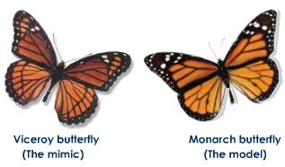 warning mimicry in butterfly