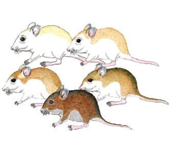 Illustration of five oldfield mice with the range of colorations from dark to light.